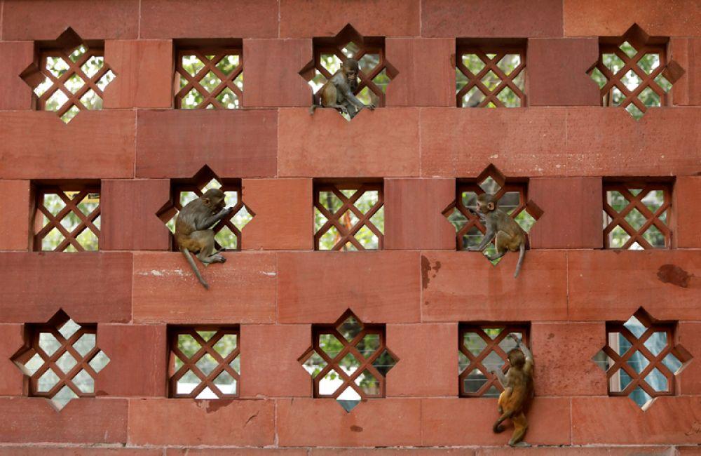 Детеныши обезьян играют на стене здания парламента Индии в Нью-Дели.