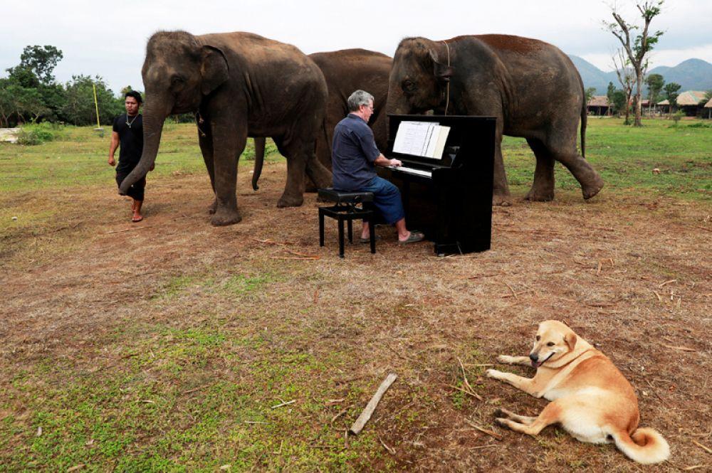 Волонтер Пол Бартон играет на пианино для больных, раненых и старых слонов, Канчанабури, Таиланд.