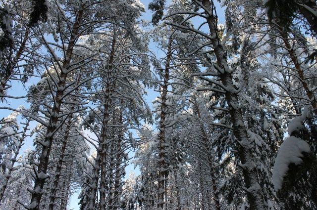 В Тюмени черных лесорубов будут устанавливать по дактилоскопии деревьев