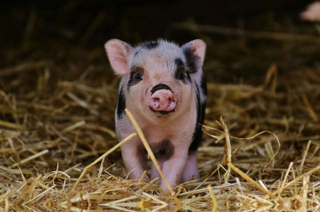 Несколько дней свинка будет жить в школе.