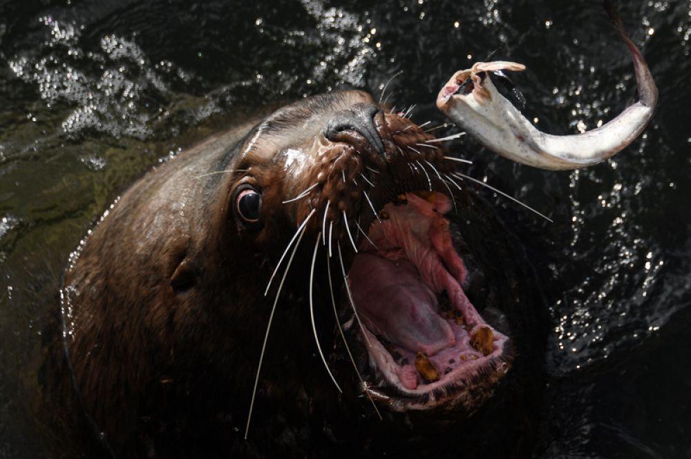 Сивуч (морской лев) ловит брошенную ему рыбу на одном из лежбищ в Петропавловске-Камчатском. 11 марта 2018 года.