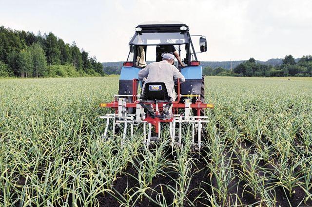 И. Дмитриев: «Выращивание чеснока – это комплексная работа, которая требует большого труда, сил, внимания».