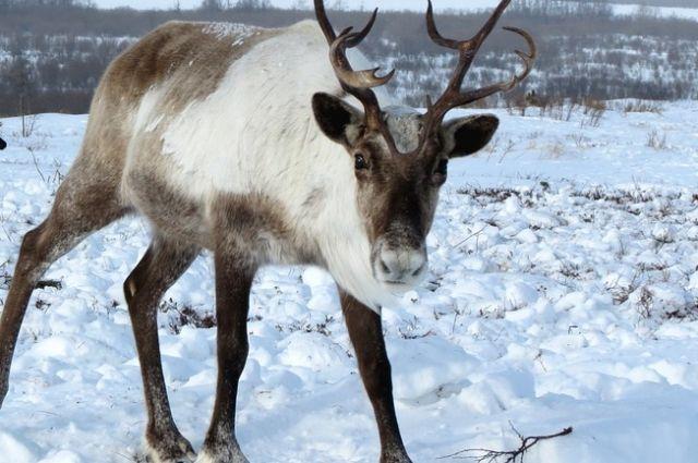 Северного оленя включили в Красную книгу Пермского края
