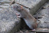 В Киеве бешеная крыса покусала женщину, которая пыталась ей помочь