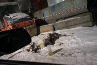 Измученного оленя сфотографировали в день его гибели.