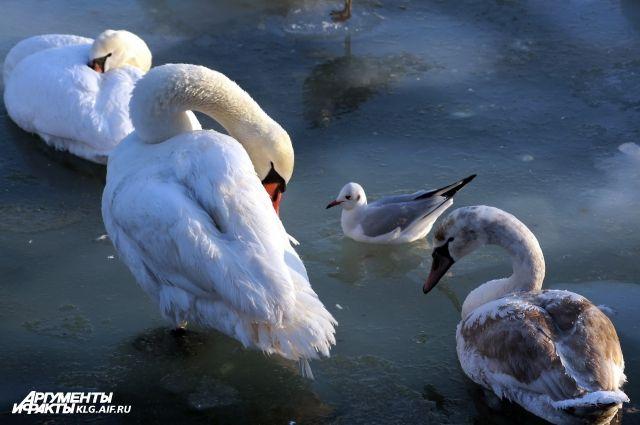 ГИБДД ищет водителя, который задавил лебедя в Балтийске.