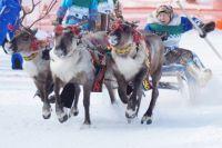 Оленеводство – традиционный вид занятий народов Крайнего Севера.