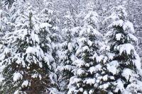 Желающие самостоятельно выбрать и срубить в лесу ёлку должны обратиться в лесничество по месту жительства за реквизитами для оплаты.