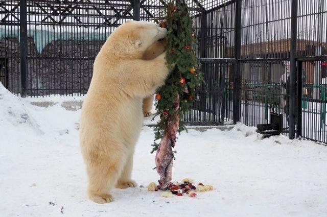 Все украшения на ёлке для белых медведей были съедобными и состояли из продуктов, входящих в рацион хищников.
