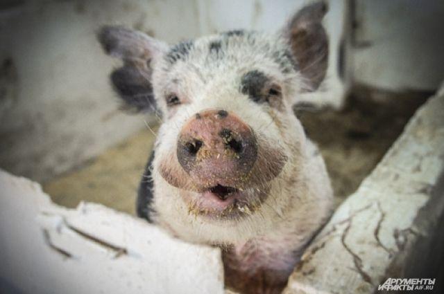 Главное достоинство свиней -добродушие.