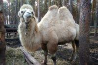 В Тюмени мерзнет верблюд