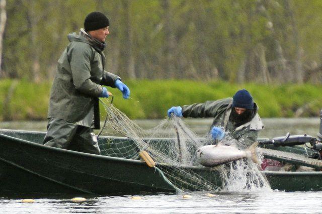 Жители Комсомольска попались на незаконной ловле лосося.