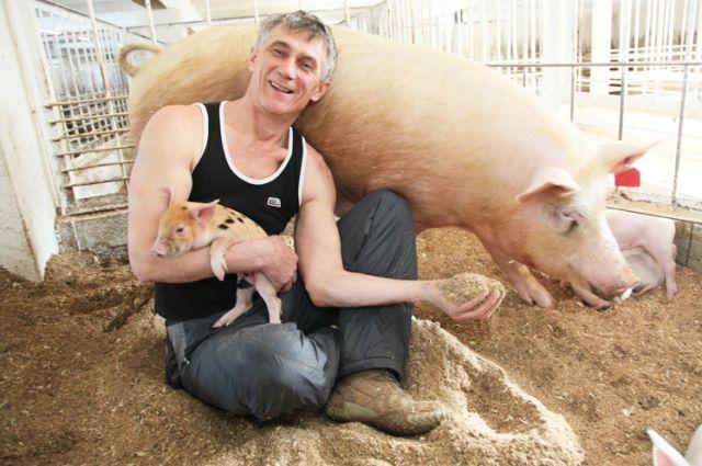 В ЛПХ Тюменского района насчитывается почти 3,5 тысячи голов свиней