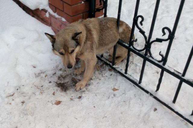 Собака застряла между металлических прутьев забора.