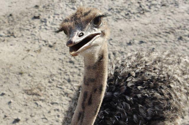 Для тюменских страусов наступила австралийская весна