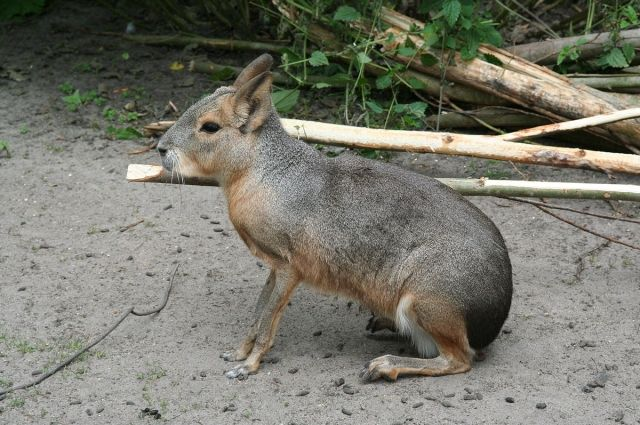 Эти зверьки похожи на зайцев.