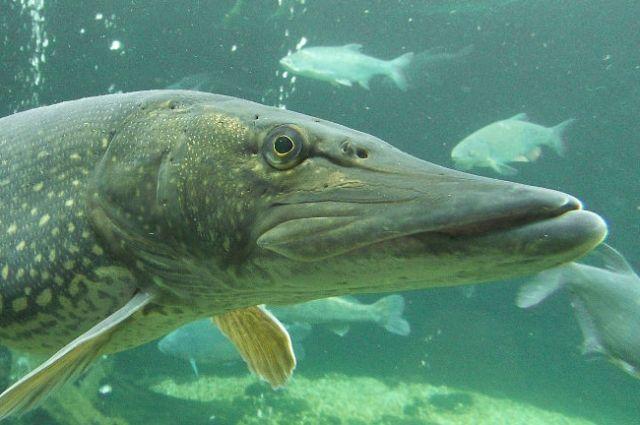 Под Тобольском на Иртыше рыбаки поймали щуку весом около семи килограммов