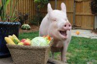 Подложили свинью. Как хрюша Эстер стала звездой интернета