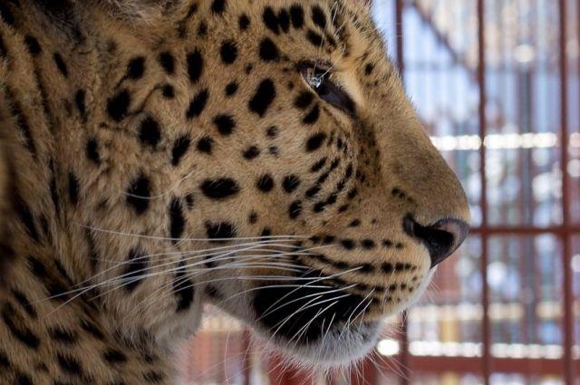 Леопард в барнаульском зоопарке