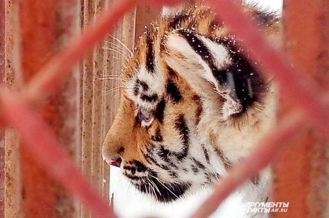 Маленькие тигрята следят за тем, что происходит вокруг