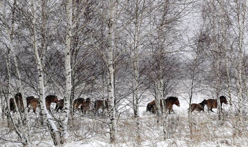 В Череваче исследователи заметили лошадей Пржевальского.