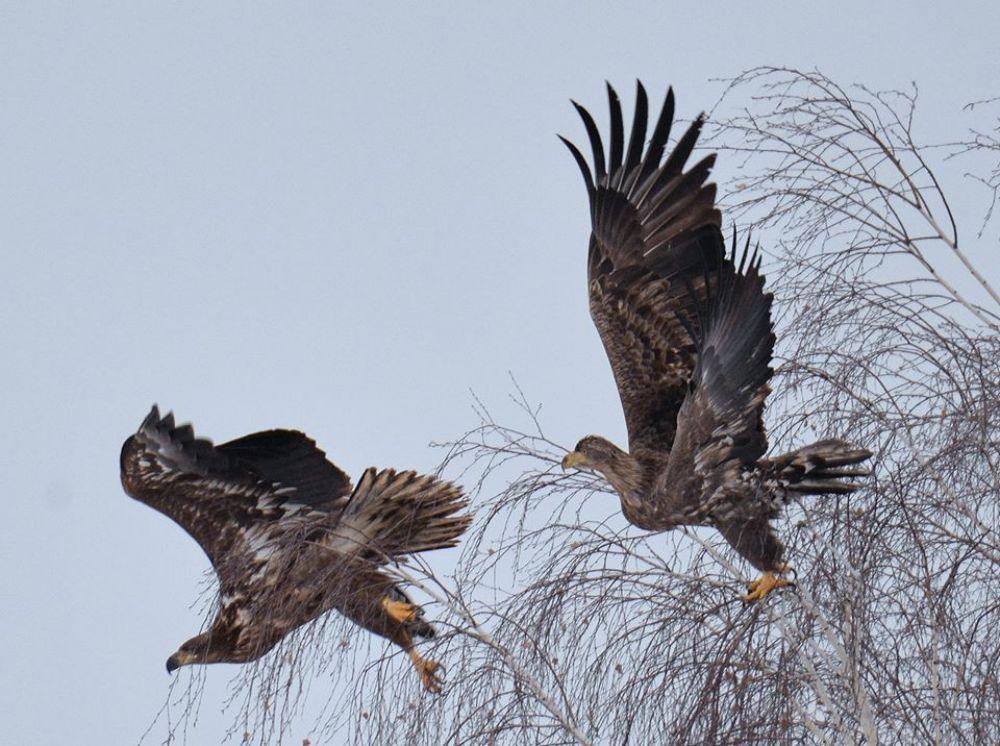Во время экспедиции было зафиксировано 16 орланов-белохвостов, которые занесены в Красную книгу Украины.