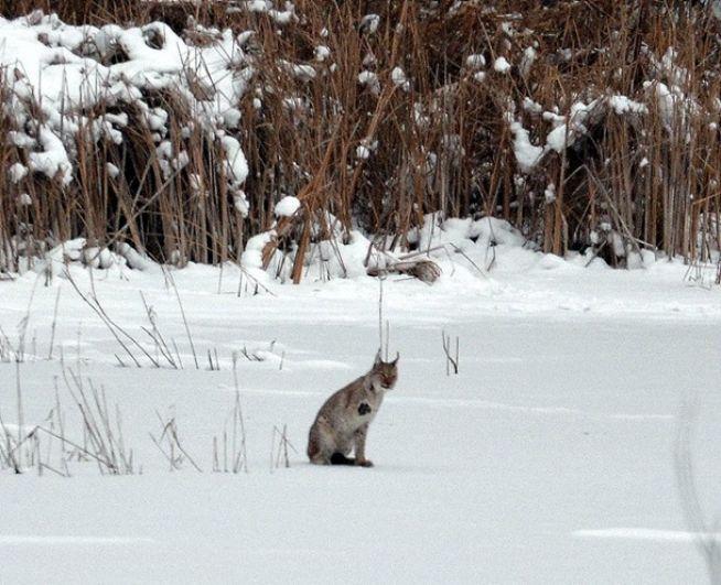 На льду реки Припять на что-то охотилась рысь.