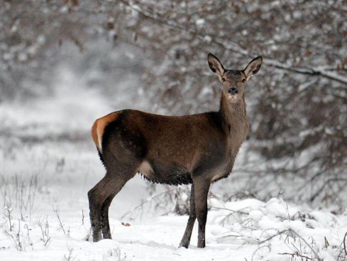 На лесной дороге исследователям встретились прекрасная самка оленя.