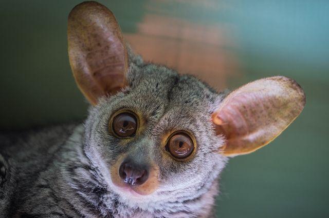 В красноярском зоопарке живут два представителя этой породы.