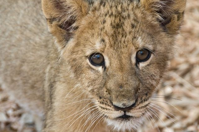 Тревогу забили петербуржцы, которые увидели львицу гуляющей о улицам города.