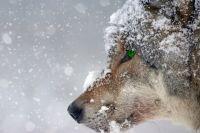 В Назаровском районе волки охотятся на домашний скот.