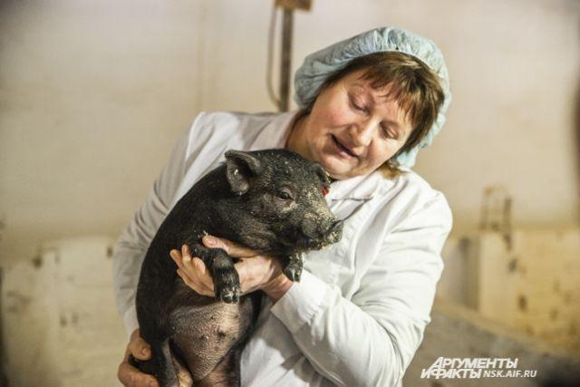 Учёные стараются не привязываться к выращенным свинкам.