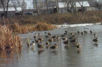 Далеко не все утки и гуси улетают осенью на юг из города.