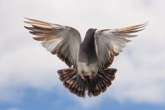 В Тюмени работает персональная выставка голубей Юрия Неелова
