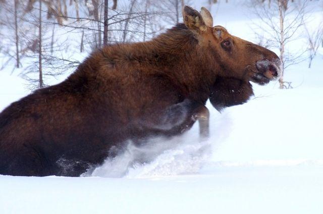 20 января ещё одна самка лося погибла в ДТП в Добрянском районе.