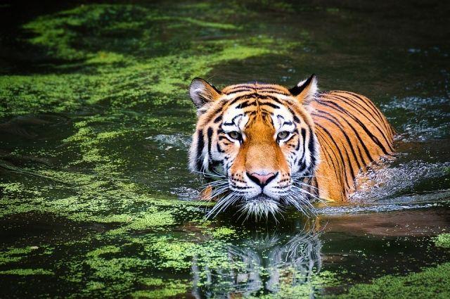Тигр Амур отправится жить в Краснодар.