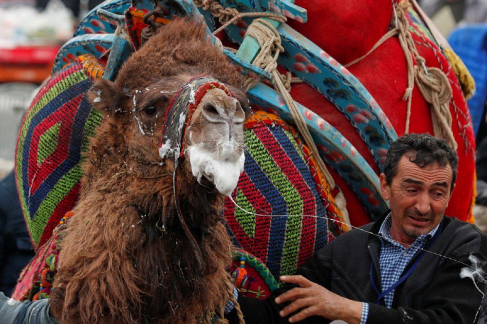 Верблюд после боя во время ежегодного фестиваля борьбы верблюдов в городе Сельчук, недалеко от Измира, Турция.