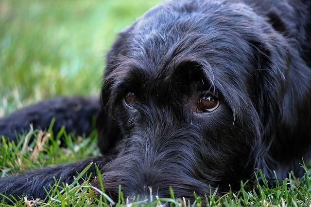 Риск заражения есть как для уличных, так и для домашних собак и кошек.