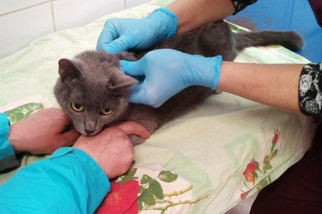 Организм кошки сильно ослаб, ей требуется дорогостоящее лечение.