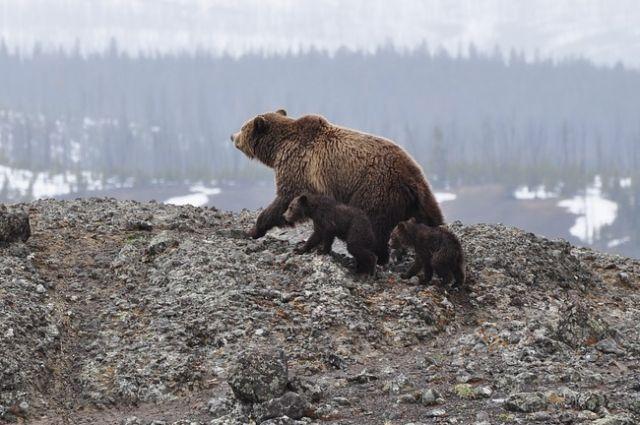 У многих зарубежных гостей имеется классический стереотип, что в Сибири медведи ходят по улицам.