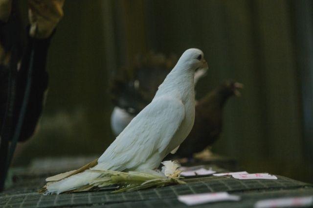 Тюменцы спасли белоснежного голубя, залетевшего к ним на балкон