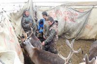 В Тазовском районе первый этап вакцинации оленей стартует в конце февраля
