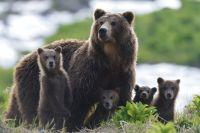 Материнский инстинкт у медведиц очень мощный, но появляется он не тогда, когда рождаются малыши, а когда они выходят из берлоги