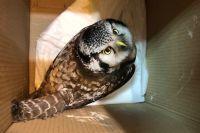 Даже осторожным ястребиным совам не всегда удаётся избежать встречи с человеком.