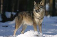До конца года в республике разрешили добыть вне охоты 100 особей.
