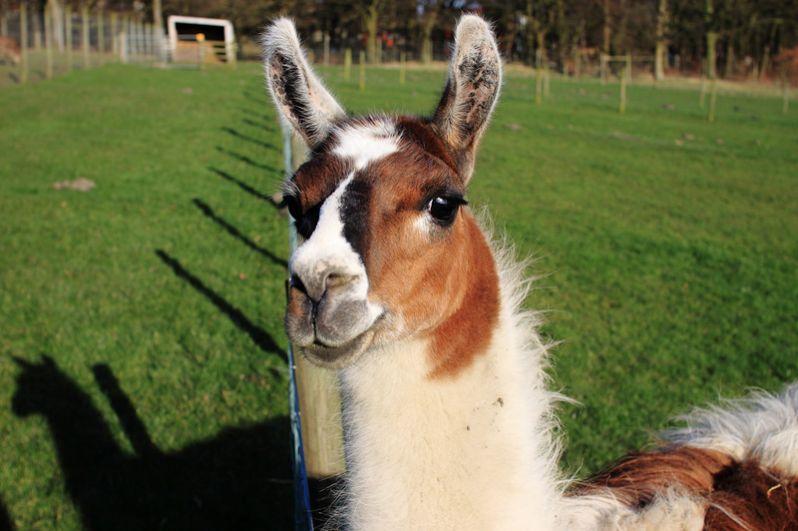 Лама. Одомашненный потомок дикого безгорбого верблюда Южной Америки — гуанако.