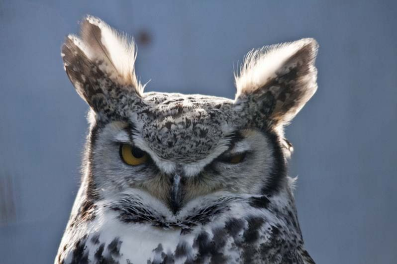 Ушастая сова. Свое название получила из-за пучков перьев на голове. Они не являются органами слуха, хотя помогают птице улавливать звуки. Настоящие уши совы — два больших, несимметрично расположенных отверстия по бокам головы.