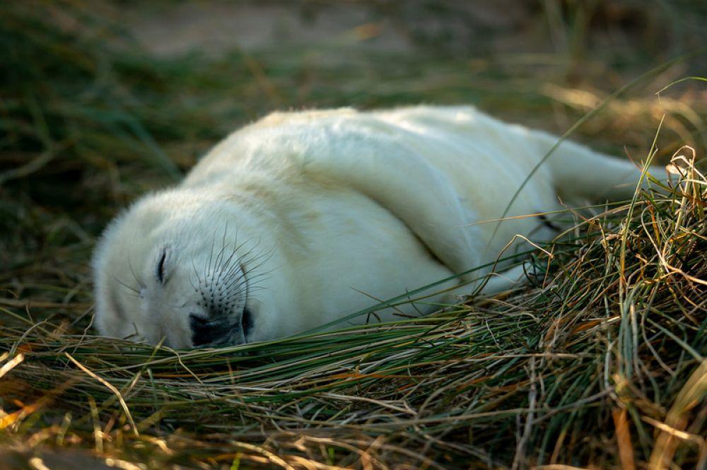 Длинномордый или серый тюлень. Новорожденные детеныши тюленей — белые. Животные включены в Красную книгу России.