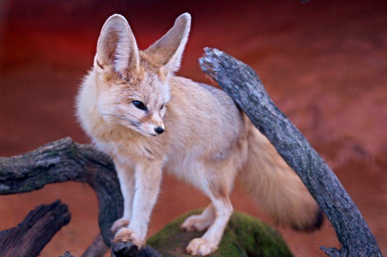 Фенек. Самый мелкий зверек из семейства псовых обладает огромными ушами-локаторами, поверхность которых составляет пятую часть поверхности тела.