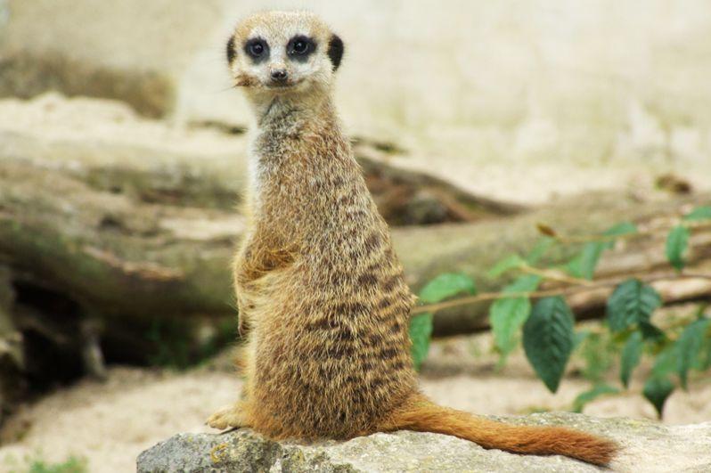 Сурикат. Эти животные похожи отчасти на обезьян, отчасти на енотов и отчасти на грызунов. В действительности эти хищники — ближайшие родственники мангустов.